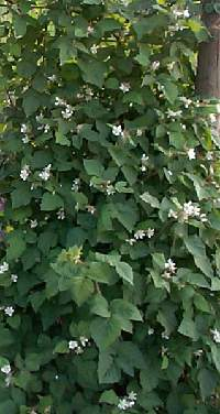 Loganberries are easy to grow, you just need a small start, if you know someone who has one, just lean over a vine and cover it with a little dirt and in a month or two you will have a new plant.