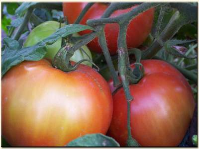 vine ripened tomato's from our garden