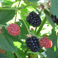 Blackberries ripen a few at a time.